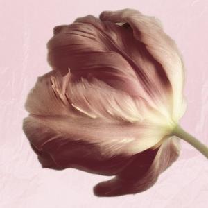 Burgundy Tulip 2 by Dianne Poinski