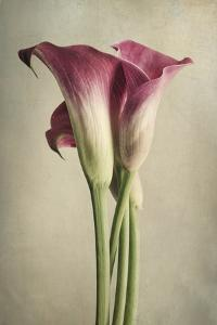 Calla Lily Pink by Dianne Poinski
