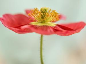 Pink Poppy 1 by Dianne Poinski