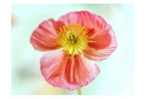 Pink Poppy 2 by Dianne Poinski
