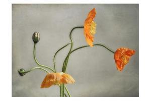 Poppies Dance by Dianne Poinski