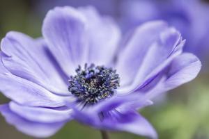 Spring Anemone II by Dianne Poinski