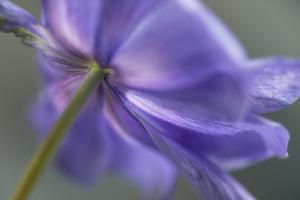Spring Anemone V by Dianne Poinski