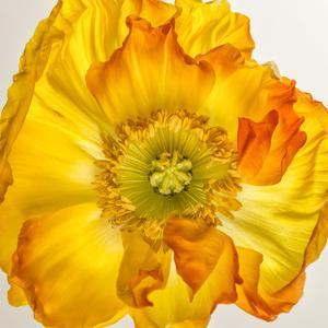 Yellow Poppy 2 by Dianne Poinski
