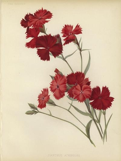 Dianthus Atkinsoni--Giclee Print