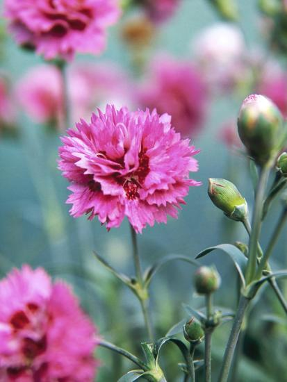 Dianthus Morning Star Pinks Pink Flowers On Atop Stems Whetman