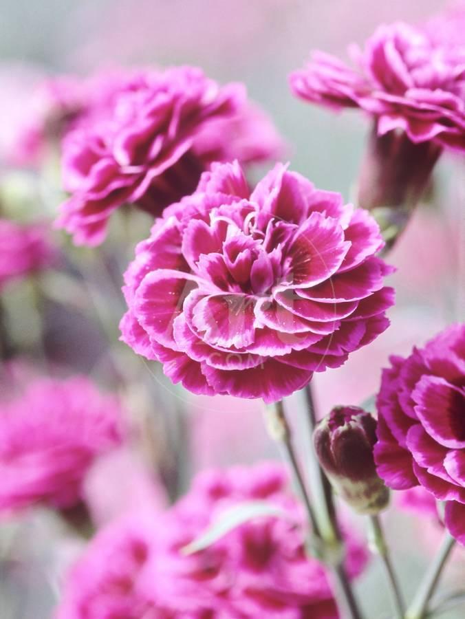 Dianthus Washington Collection Of Pink Flowers Whetman Pinks Ltd