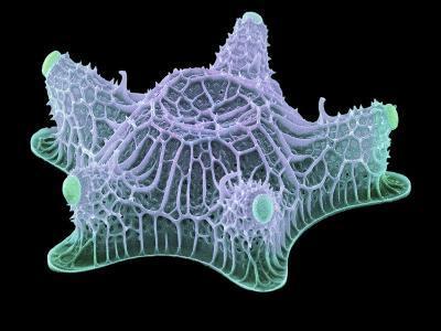 Diatom Alga, SEM-Steve Gschmeissner-Photographic Print