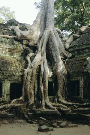 Roots of a Kapok Tree by Diccon Alexander