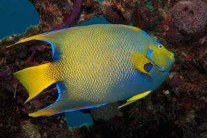 Queen Angel Angelfish, Turks and Caicos by Dickson Images