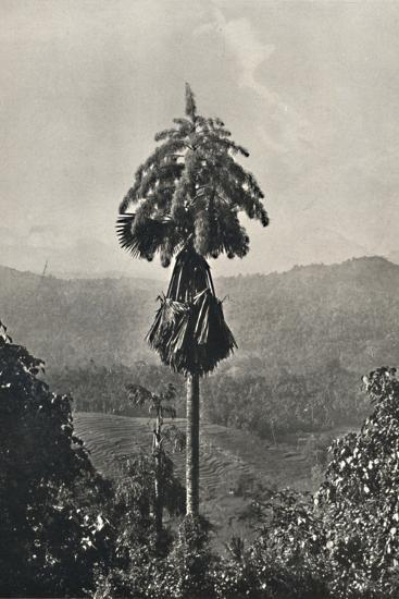 'Die Talipotpalm (Corypha umbracalifera) in Blute', 1926-Unknown-Photographic Print