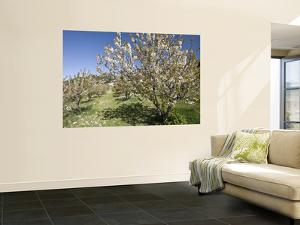 Cherry Trees Flowering in Springtime by Diego Lezama