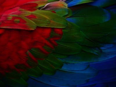 Macaw Plumage Detail