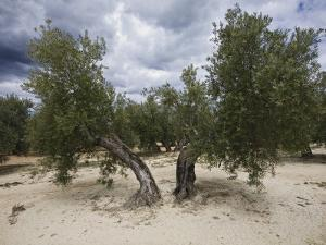 Olive Trees by Diego Lezama