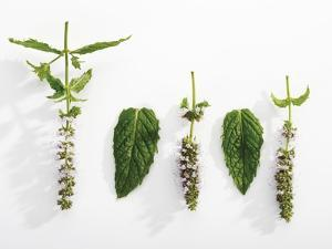 Peppermint (Leaves and Flowers) by Dieter Heinemann