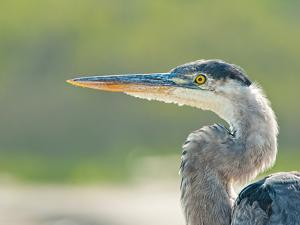 Blue Heron by Dieter Schaefer