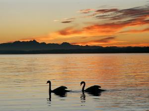 Two Swans Glide across Lake Chiemsee at Sunset near Seebruck, Germany by Diether Endlicher
