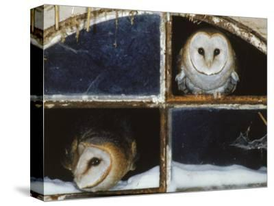 Barn Owls Looking out of a Barn Window Germany