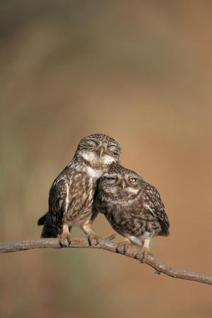 Little Owl (Athene Noctua) Pair Perched, Courtship Behaviour, Spain
