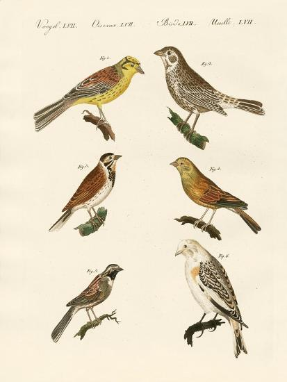 Different Kinds of Buntings--Giclee Print