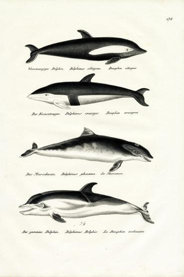 Different Kinds of Dolphins, 1824-Karl Joseph Brodtmann-Giclee Print