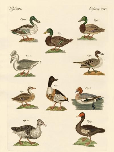 Different Kinds of Ducks--Giclee Print