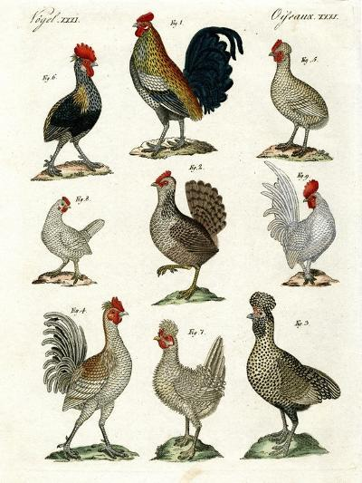 Different Kinds of Hens--Giclee Print