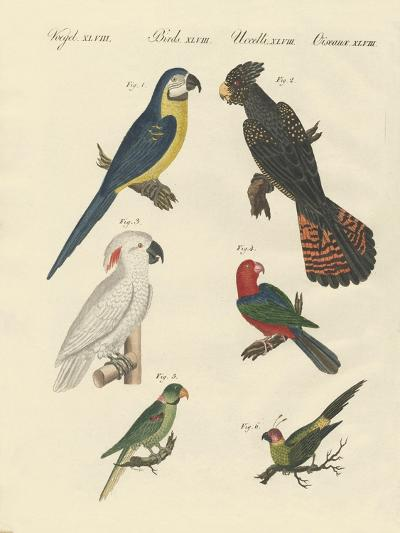 Different Kinds of Parrots--Giclee Print