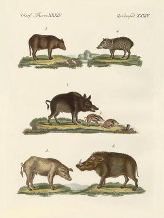 Different Kinds of Pigs