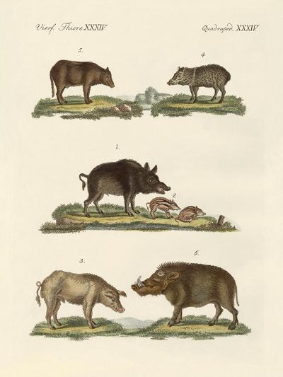 Different Kinds of Pigs--Giclee Print
