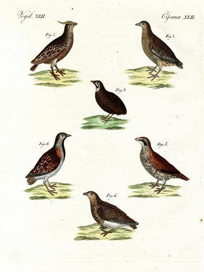 Different Kinds of Quails--Giclee Print