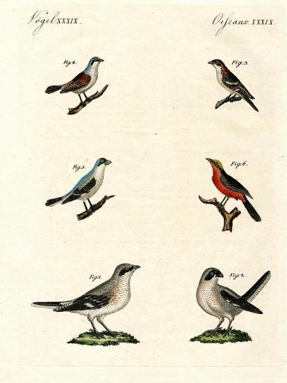 Different Kinds of Shrikes--Giclee Print