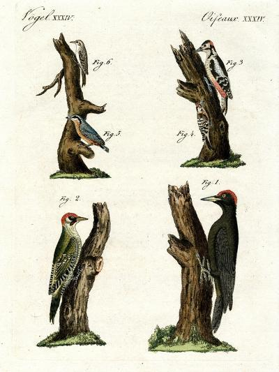 Different Kinds of Woodpecker--Giclee Print