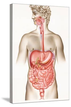 Digestive System-John Bavosi-Stretched Canvas Print
