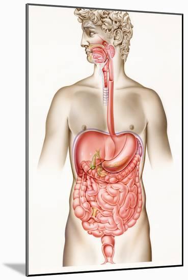 Digestive System-John Bavosi-Mounted Photographic Print