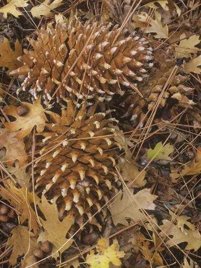 Digger Pine Cones Among Leaf Litter on the Forest Floor, Pinus Sabiniana, California, USA-Gary Meszaros-Photographic Print