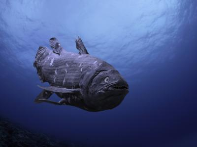 Digital Illustration of Coelacanth That Was Believed to Have Become Extinct-David Fleetham-Photographic Print