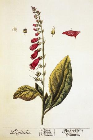 https://imgc.artprintimages.com/img/print/digitalis-plant-18th-century_u-l-pzh9990.jpg?p=0