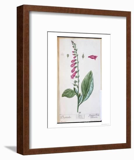 "Digitalis Purpurea, from ""Herbarium Blackwellianum,"" 1757-Elizabeth Blackwell-Framed Premium Giclee Print"