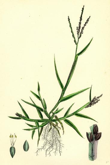 Digitaria Humifusa Glabrous Finger-Grass--Giclee Print