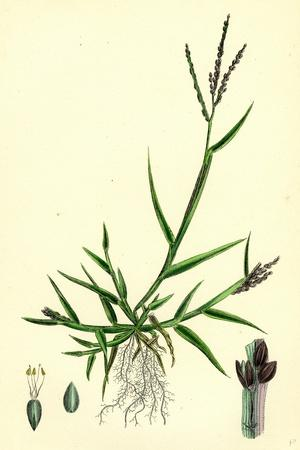 https://imgc.artprintimages.com/img/print/digitaria-humifusa-glabrous-finger-grass_u-l-pvf9ak0.jpg?p=0