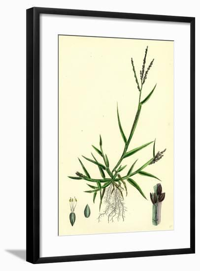 Digitaria Humifusa Glabrous Finger-Grass--Framed Giclee Print