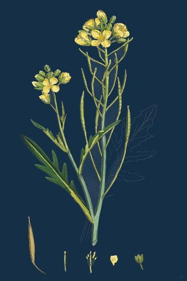 Digitaria Humifusa; Glabrous Finger-Grass--Giclee Print