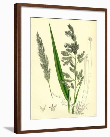 Digraphis Arundinacea Ribbon-Grass--Framed Giclee Print