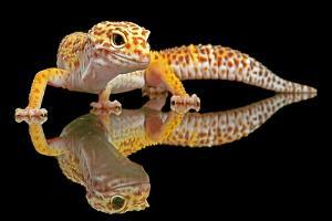 Leopard Gecko by Dikky Oesin