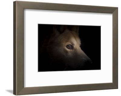 Art print POSTER CANVAS Dingo Standing on Rock