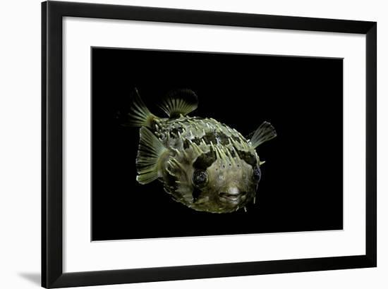 Diodon Holocanthus (Longspined Porcupinefish, Freckled Porcupinefish)-Paul Starosta-Framed Photographic Print