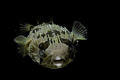 Diodon Holocanthus (Longspined Porcupinefish, Freckled Porcupinefish)-Paul Starosta-Photographic Print