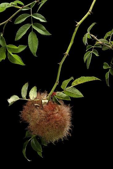 Diplolepis Rosae (Mossy Rose Gall Wasp) - Rose Bedeguar Gall-Paul Starosta-Photographic Print