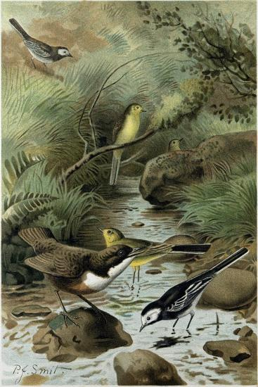Dipper Pied Wagtail and Yellow Wagtail--Giclee Print